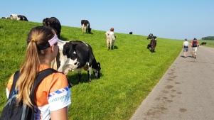 Fryslân koeien kij