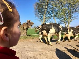 Ymke en koeien