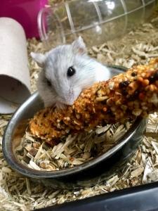 Hamster Jana