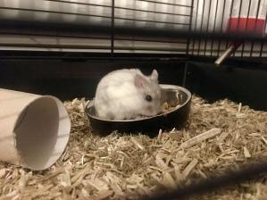 Hamster. Jana